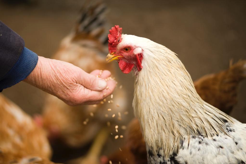 Man feeding chicken